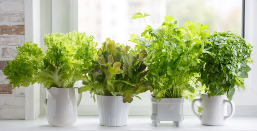 Indoor plants for kitchen